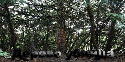 Дерево убийца.